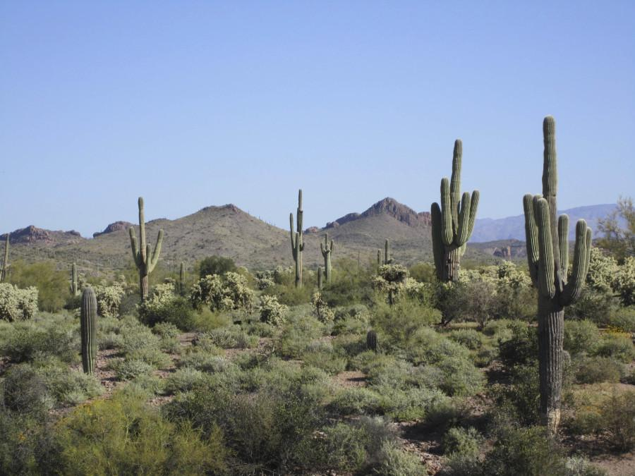 Saguaro Cacti, the most commonly recognized cactus in Arizona, are found mainly on warm, south-facing hills (desertmuseum.org)