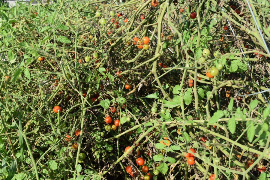 Grape tomatoes grow plentifully.